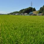 お米の成長02