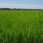 お米の成長04