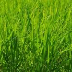 お米の成長06